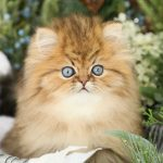 Fairy Dust Gold Persian Kitten