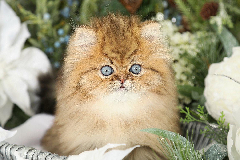 Fairy Dust Gold Persian Kitten