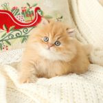 Red Persian Kitten