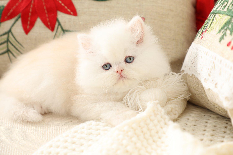 Strawberry Blonde Persian Kitten
