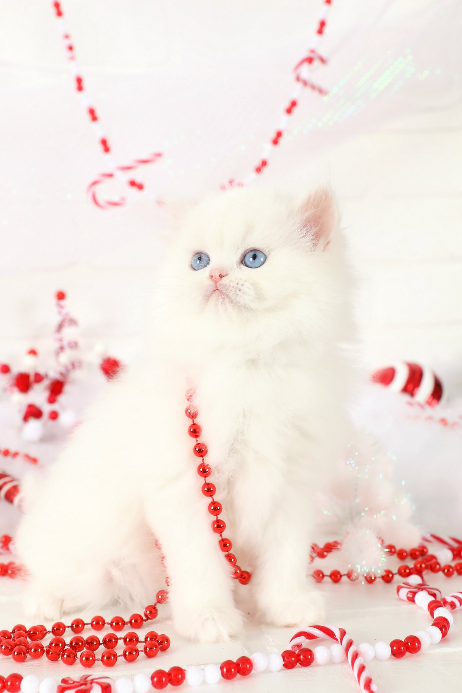 White Doll Face Persian Kitten