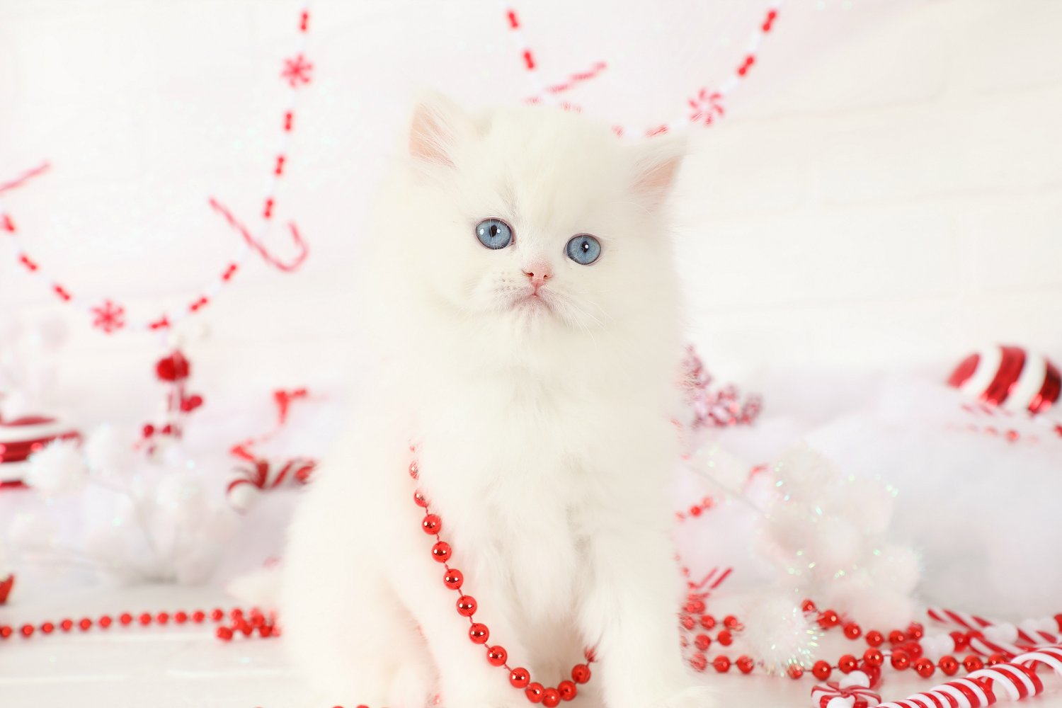Elsa White Persian Kitten For SaleUltra Rare Persian Kittens For