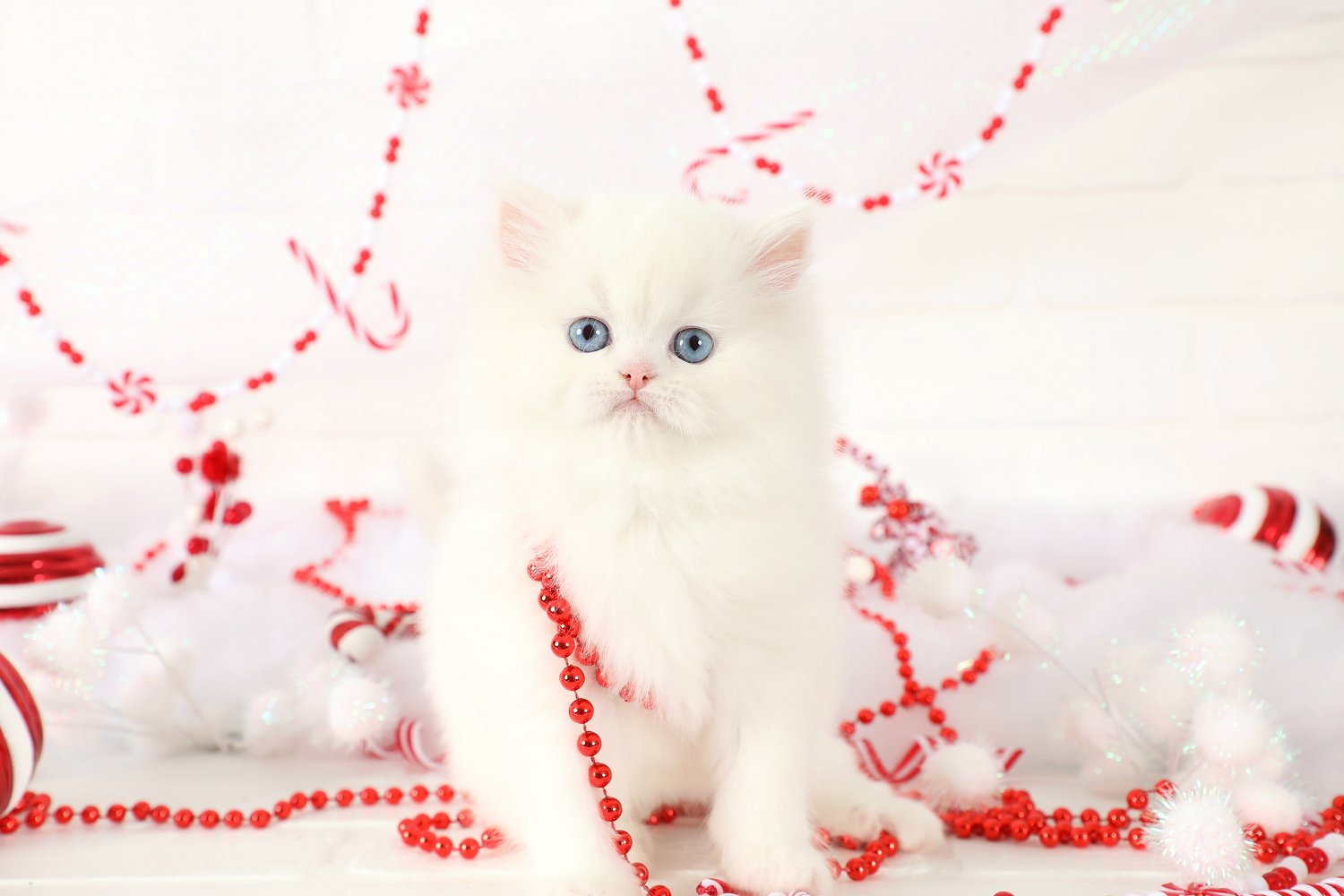Blue Eye White Persian Kitten