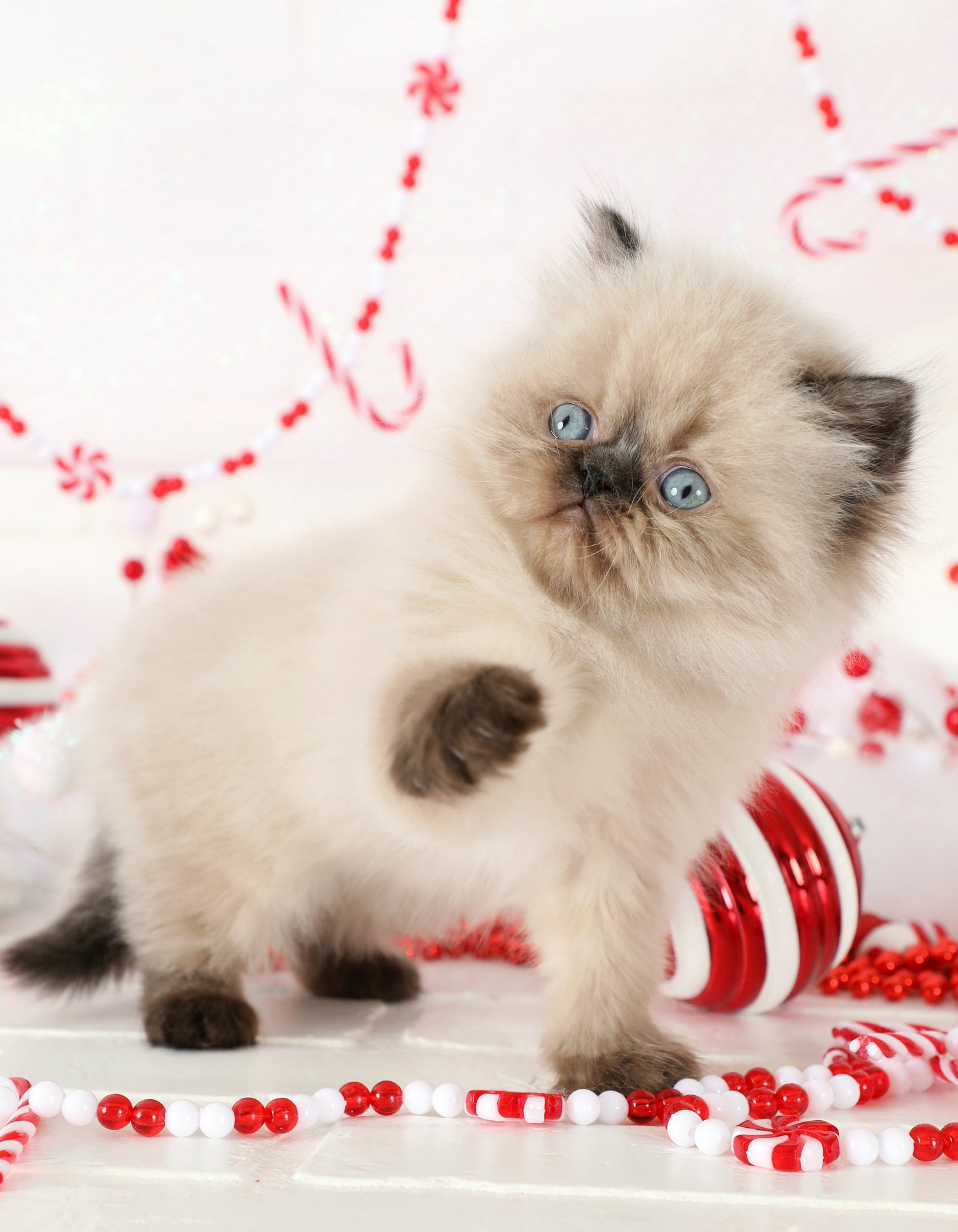 Seal Point Himalayan Kitten For SaleUltra Rare Persian Kittens For