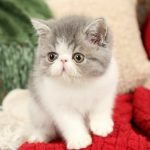 Blue & White Bicolor Exotic Shorthair Persian Kitten