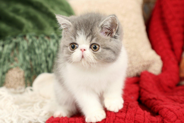 Blue & White Bicolor Exotic Shorthair Persian Kitten