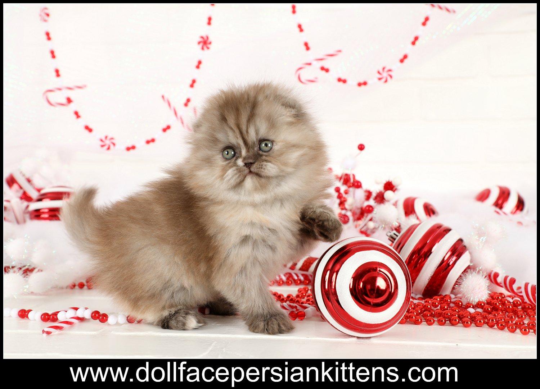 Persian Fold Kitten