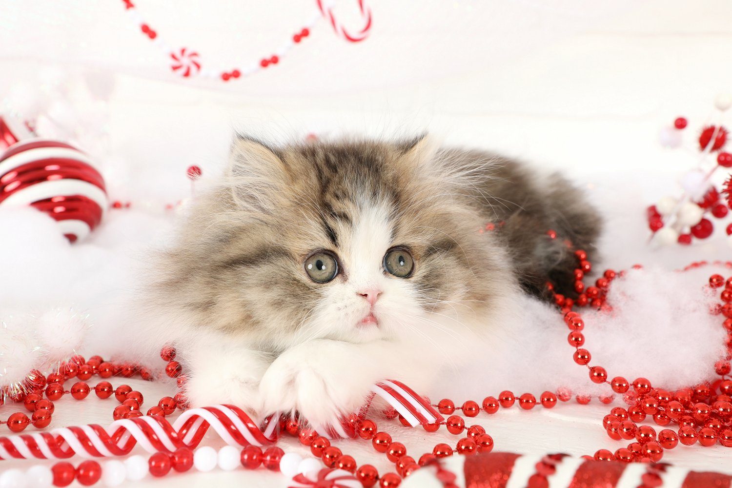 Himalayan KittensUltra Rare Persian Kittens For Sale – 660 292