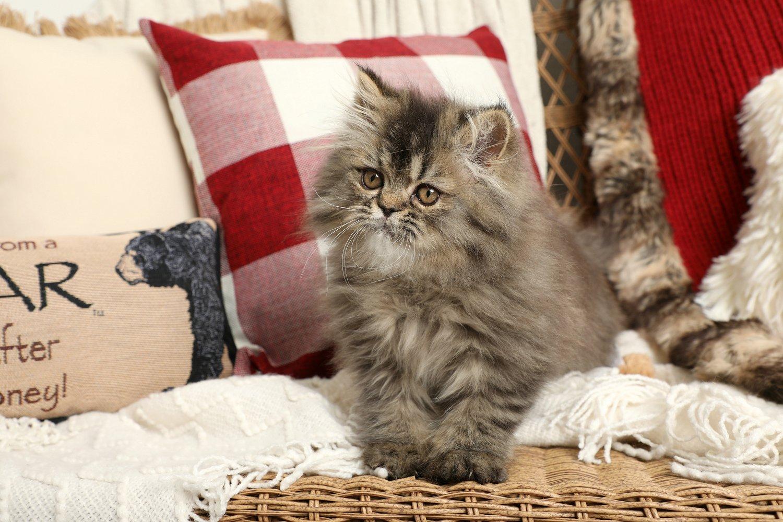 Jungle Baby Kitten