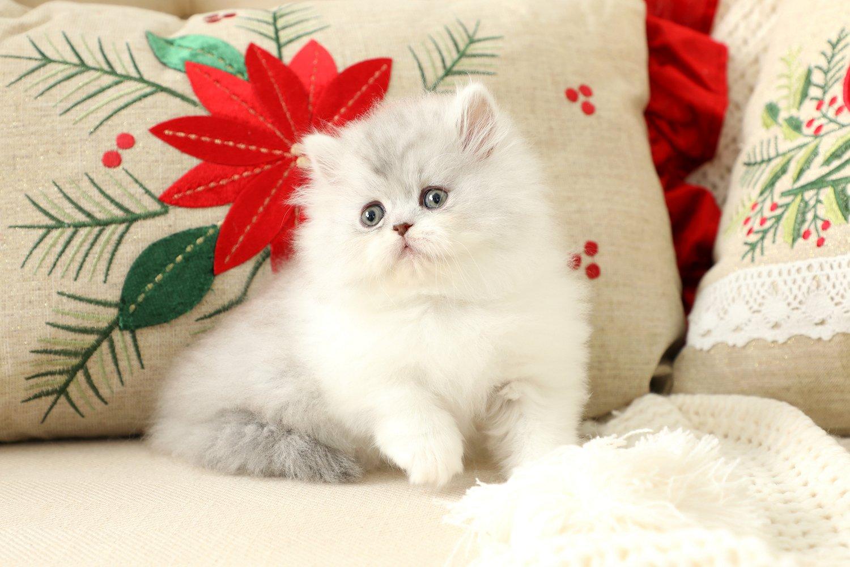 Doll Face Persian Kittens