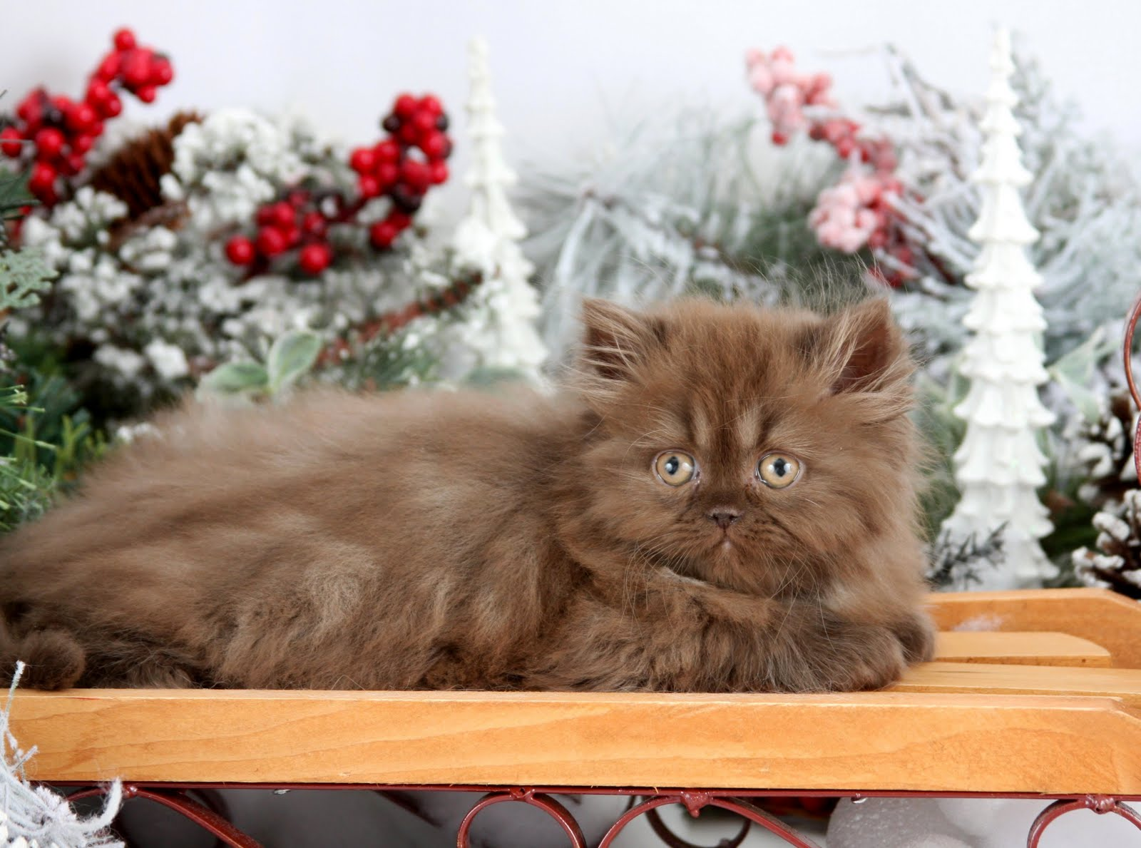 Chocolate Persian Kittens Chocolate Persians