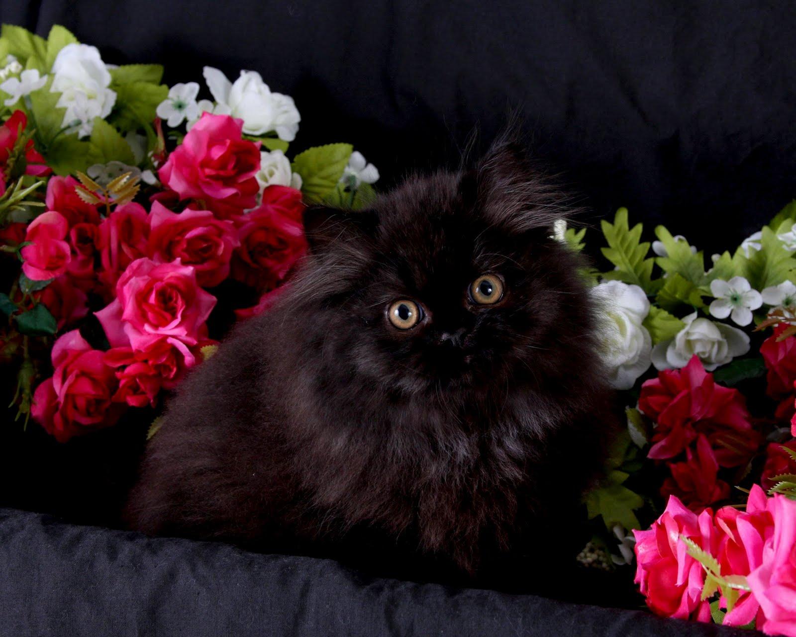 adopting a baby kitten
