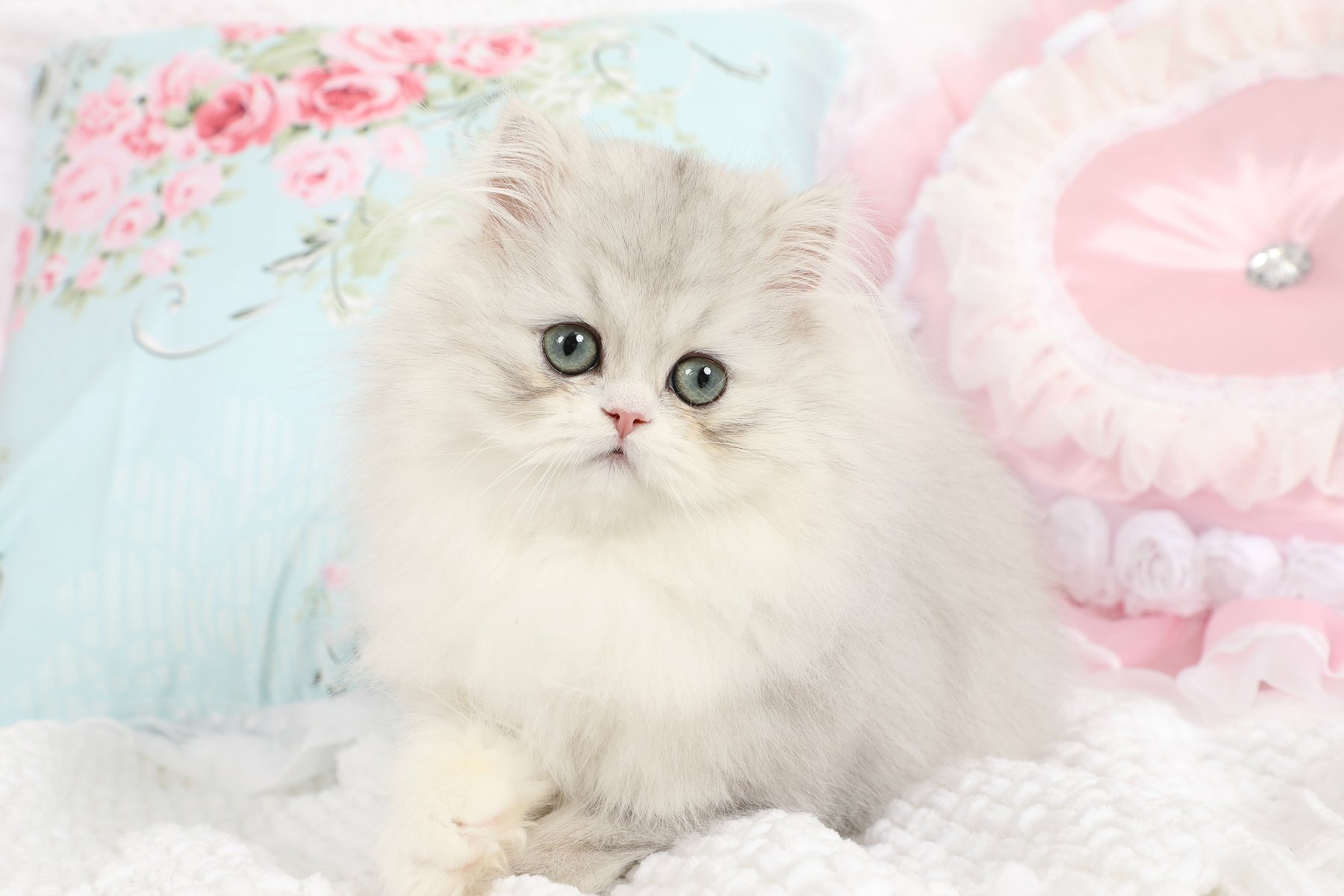 Doll Face Persian Kittens