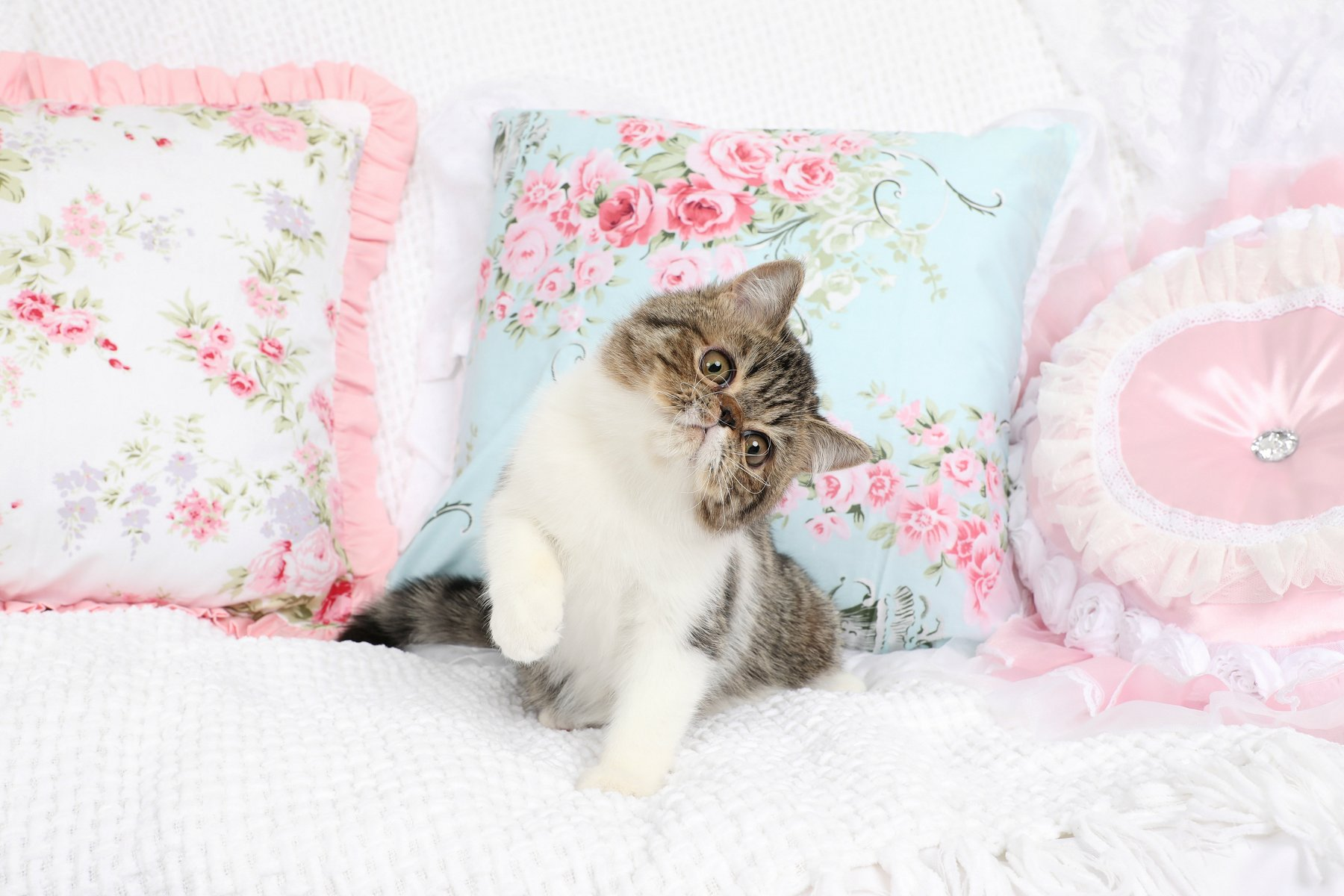 Golden Tabby and White Exotic Shorthair Persian Kitten