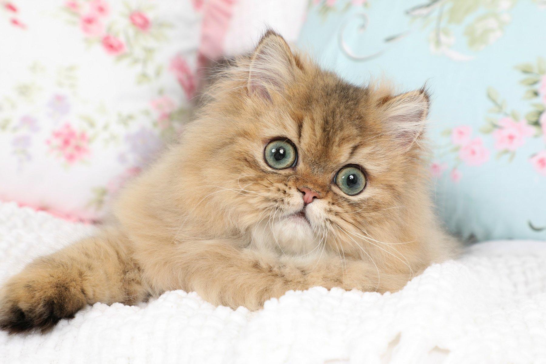 Dollface Persian Kittens
