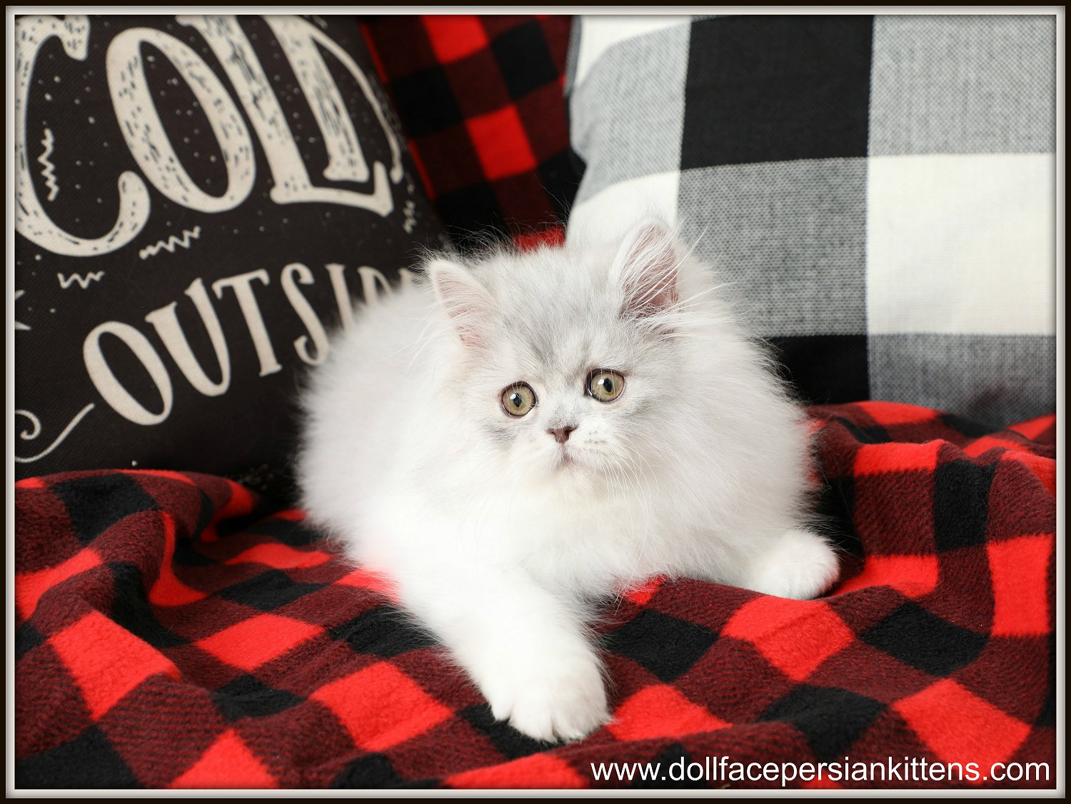 Doll Face Persian Kittens Lover Boy - Silver and White Persian Kitten