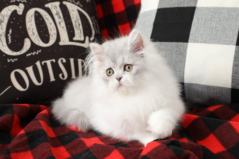 Doll Face Persian Kittens Lover Boy