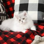 Doll Face Persian Kittens Silver and White Bicolor Persian Kitten
