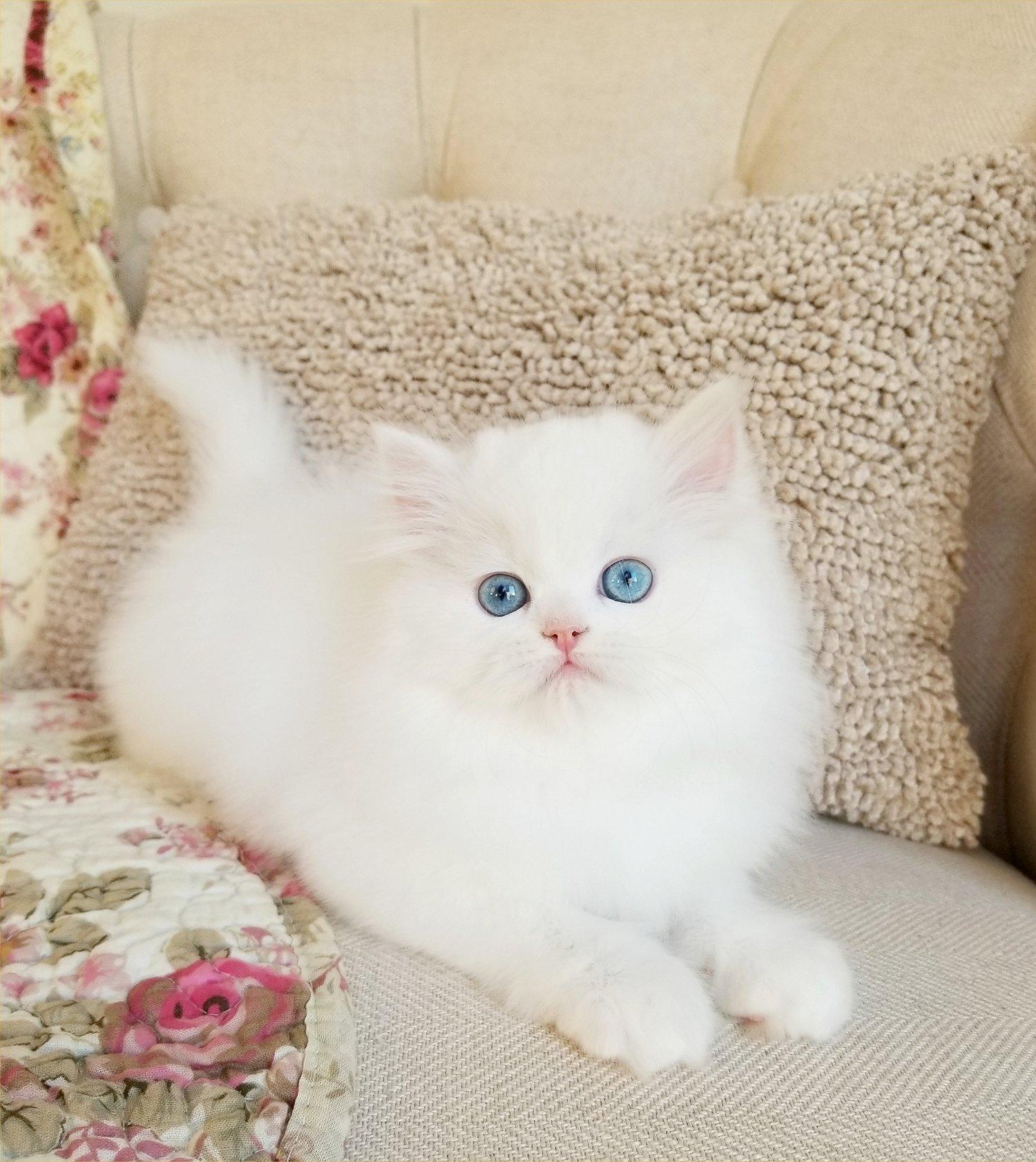 White Persian Kitten