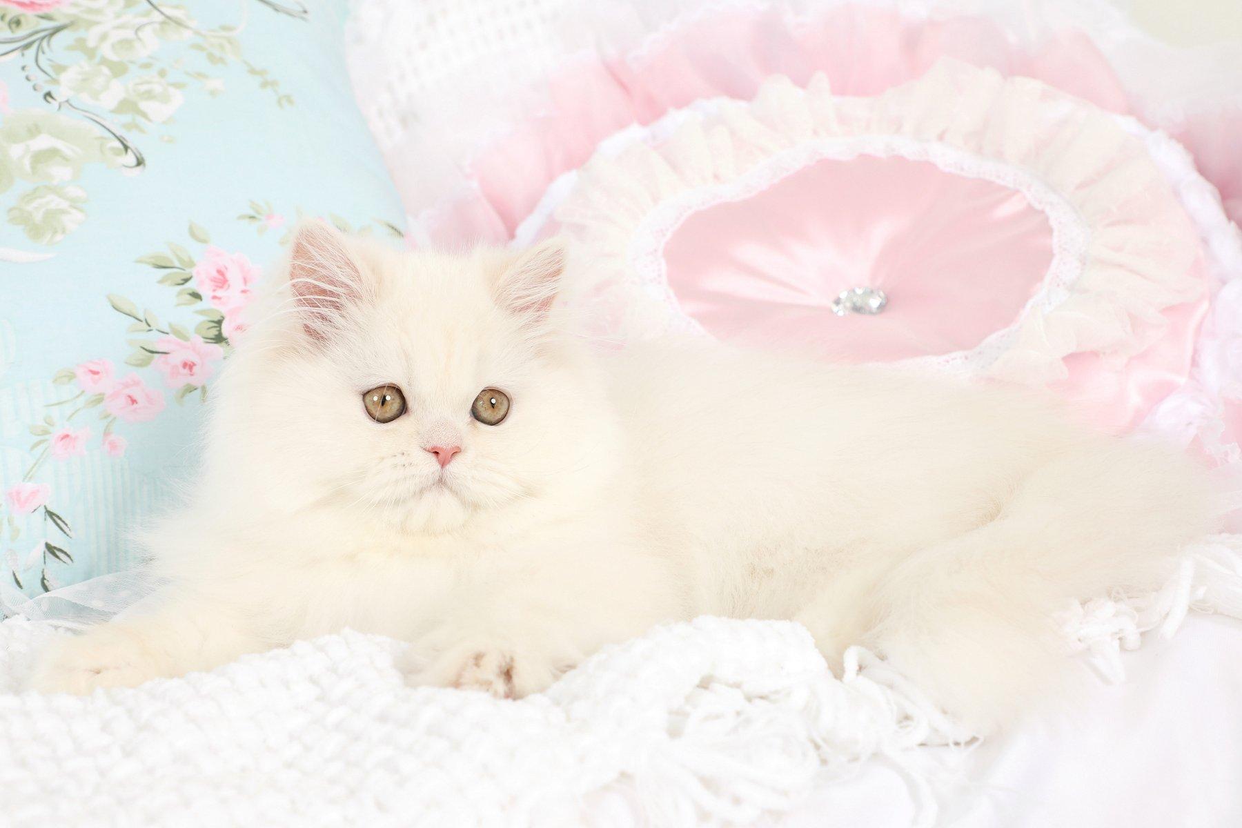Cameo Persian Kitten