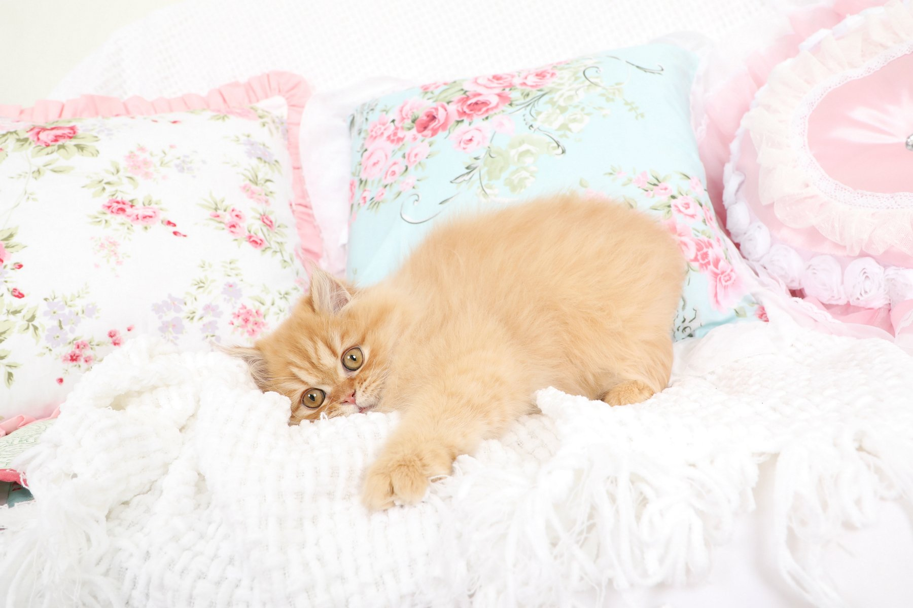 Red Persian Kitten