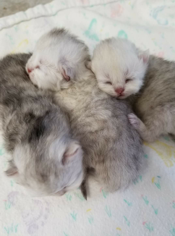 Teacup Baby Kittens