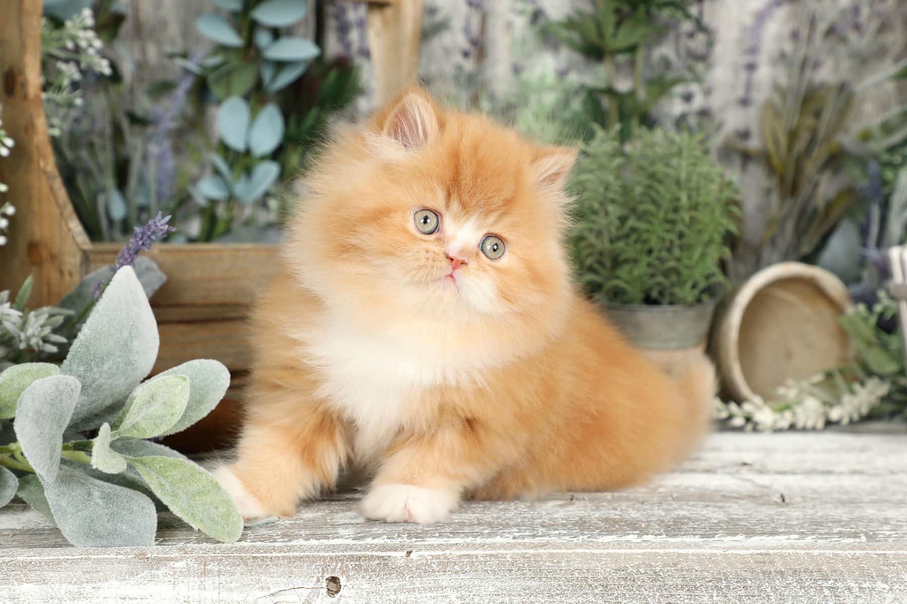 Red & White Bicolor Persian Kitten