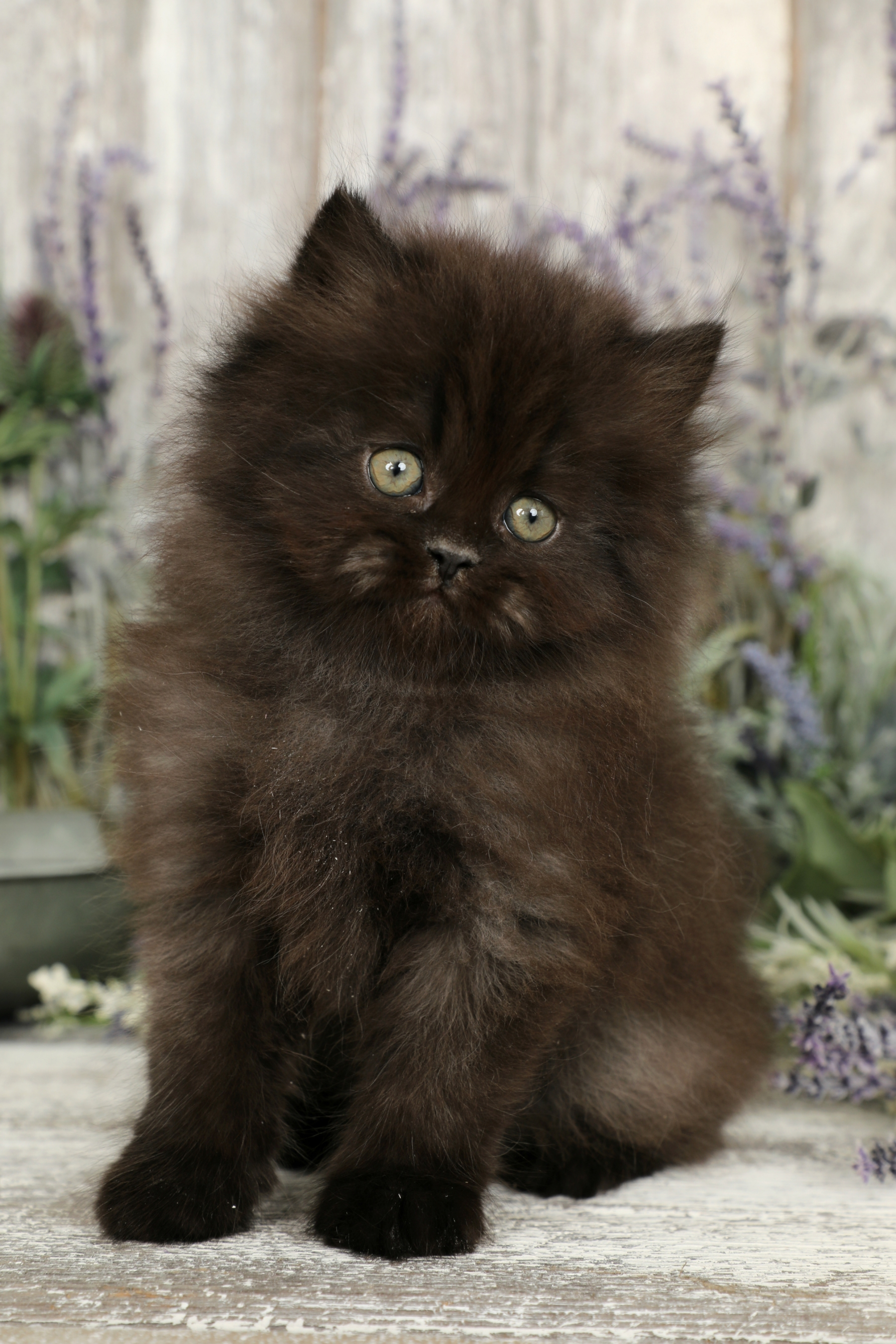 Black Persian Kittens | Black Persian Cats | Doll Face ...