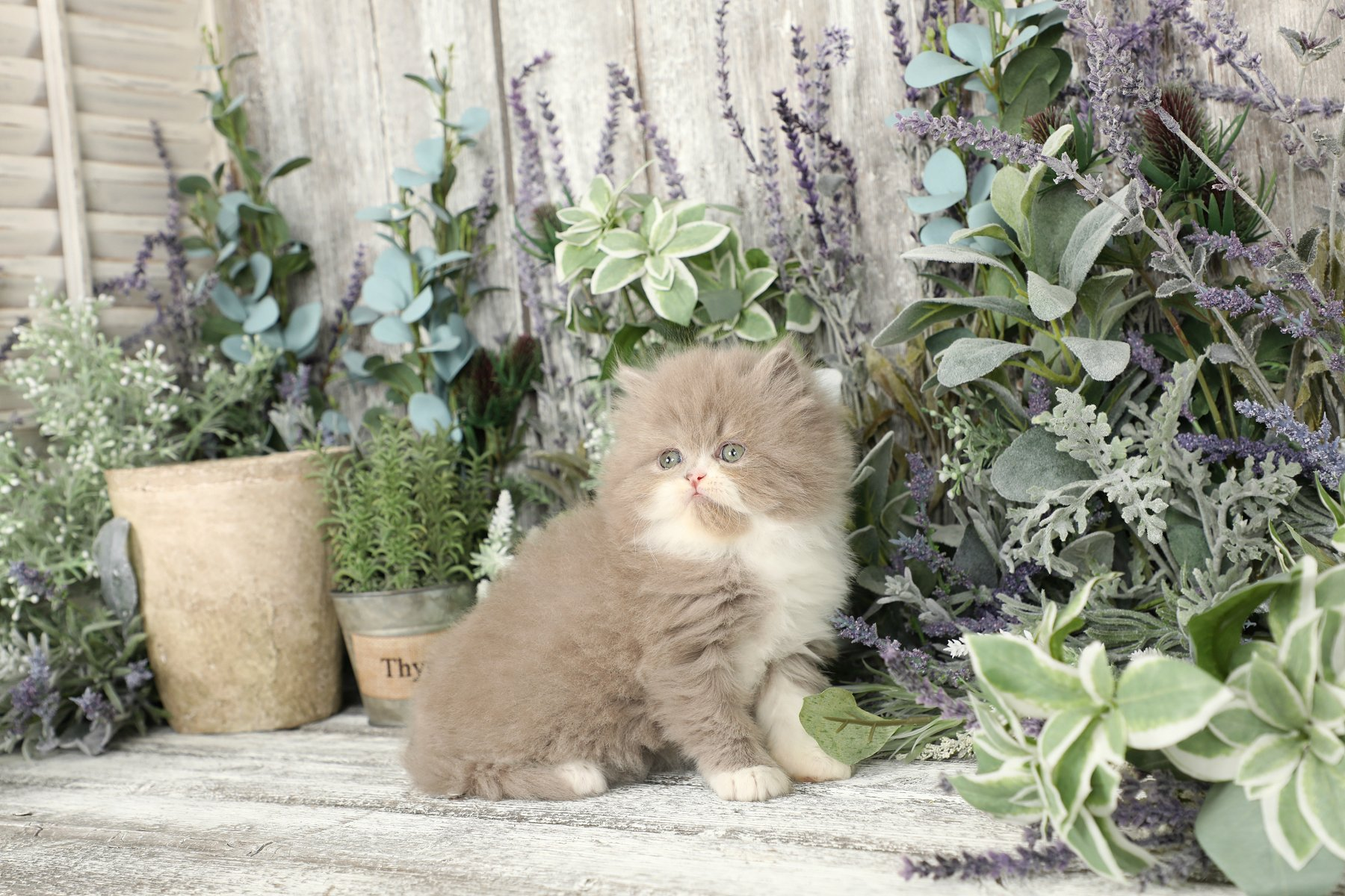 Lilac & White Bicolor Persian Kitten