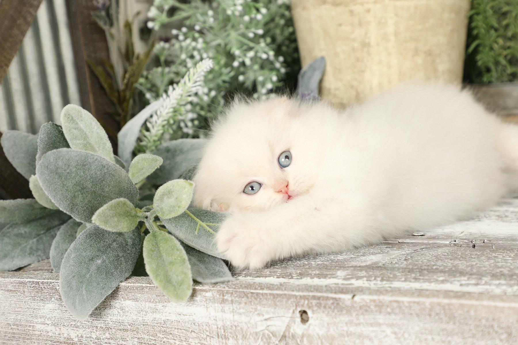 Flame Point Himalayan Fold Kitten