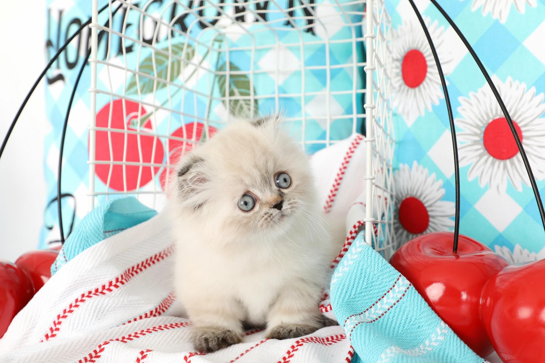 Rug Hugger Fold Kitten - Doll Face Persian Kittens