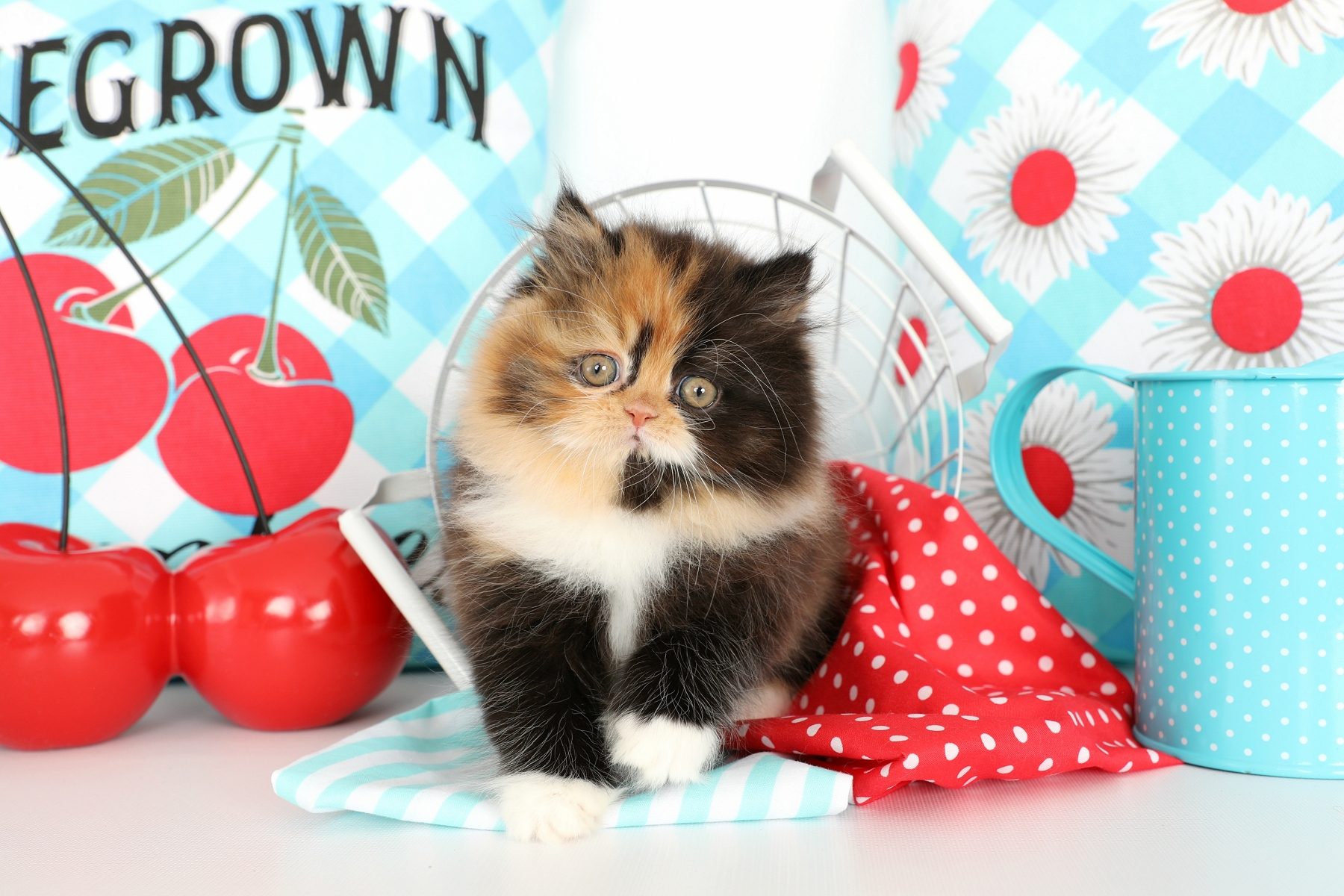 Calico Persian Kitten