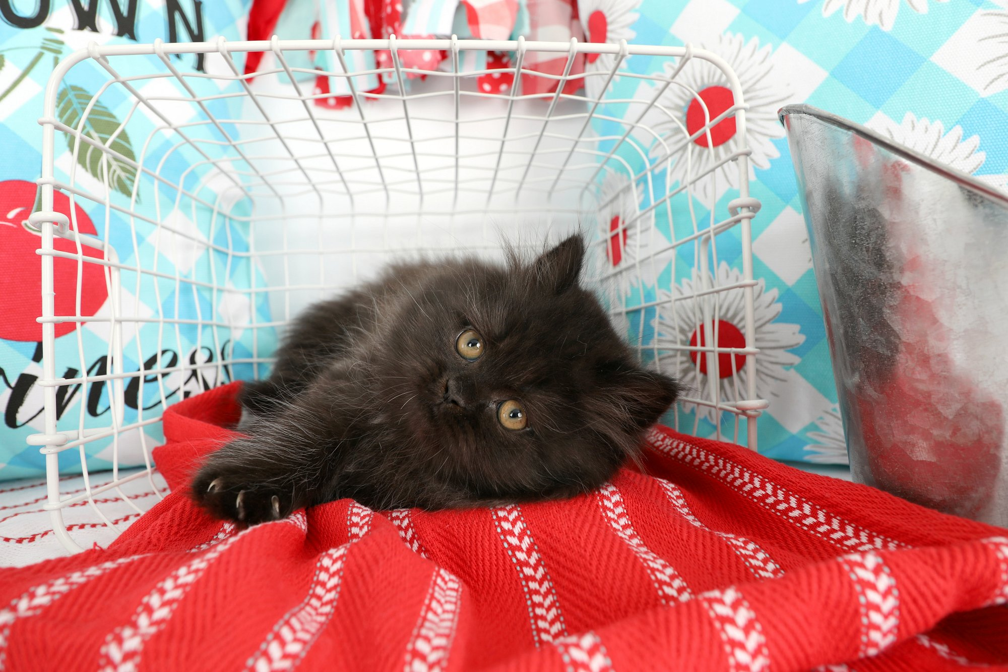 Black Persian Kitten For Sale