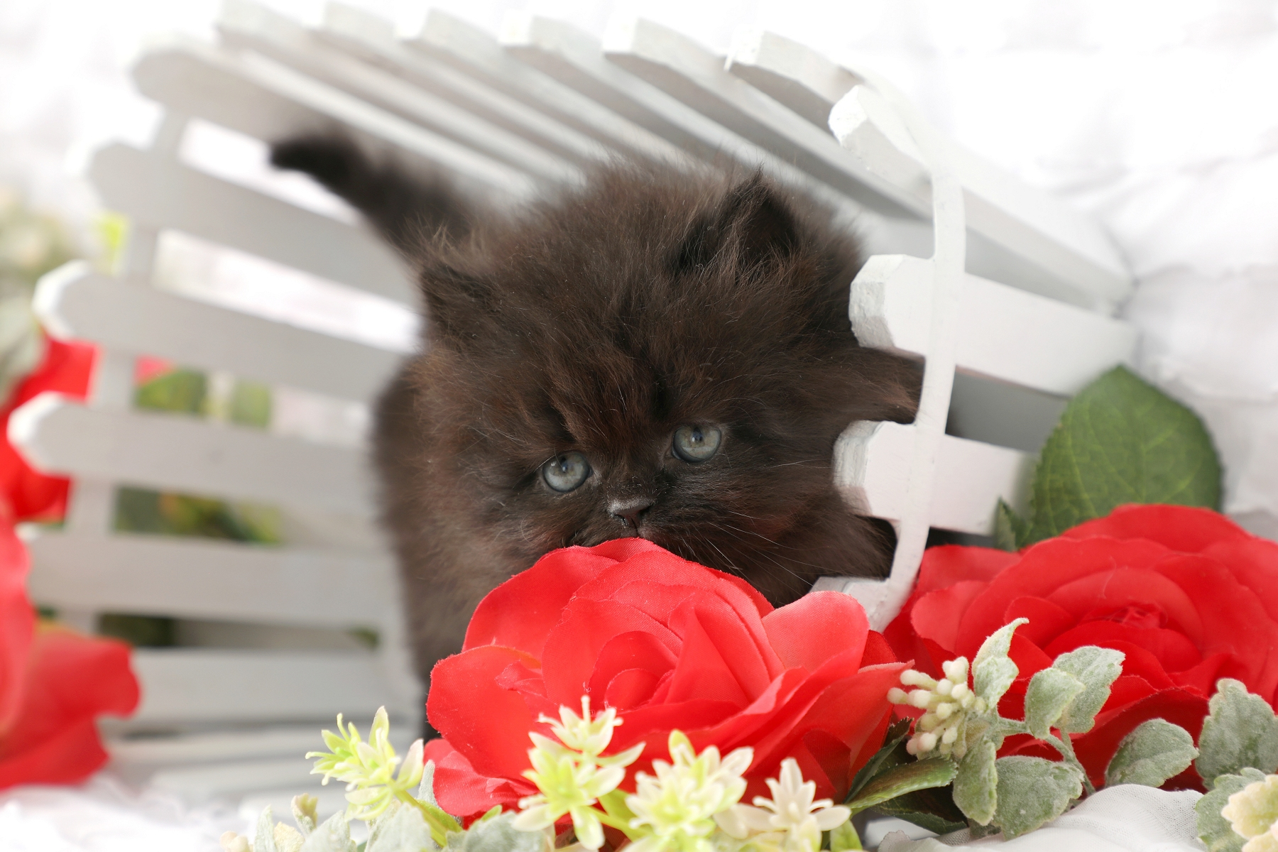 Black Dollface Persian Kitten