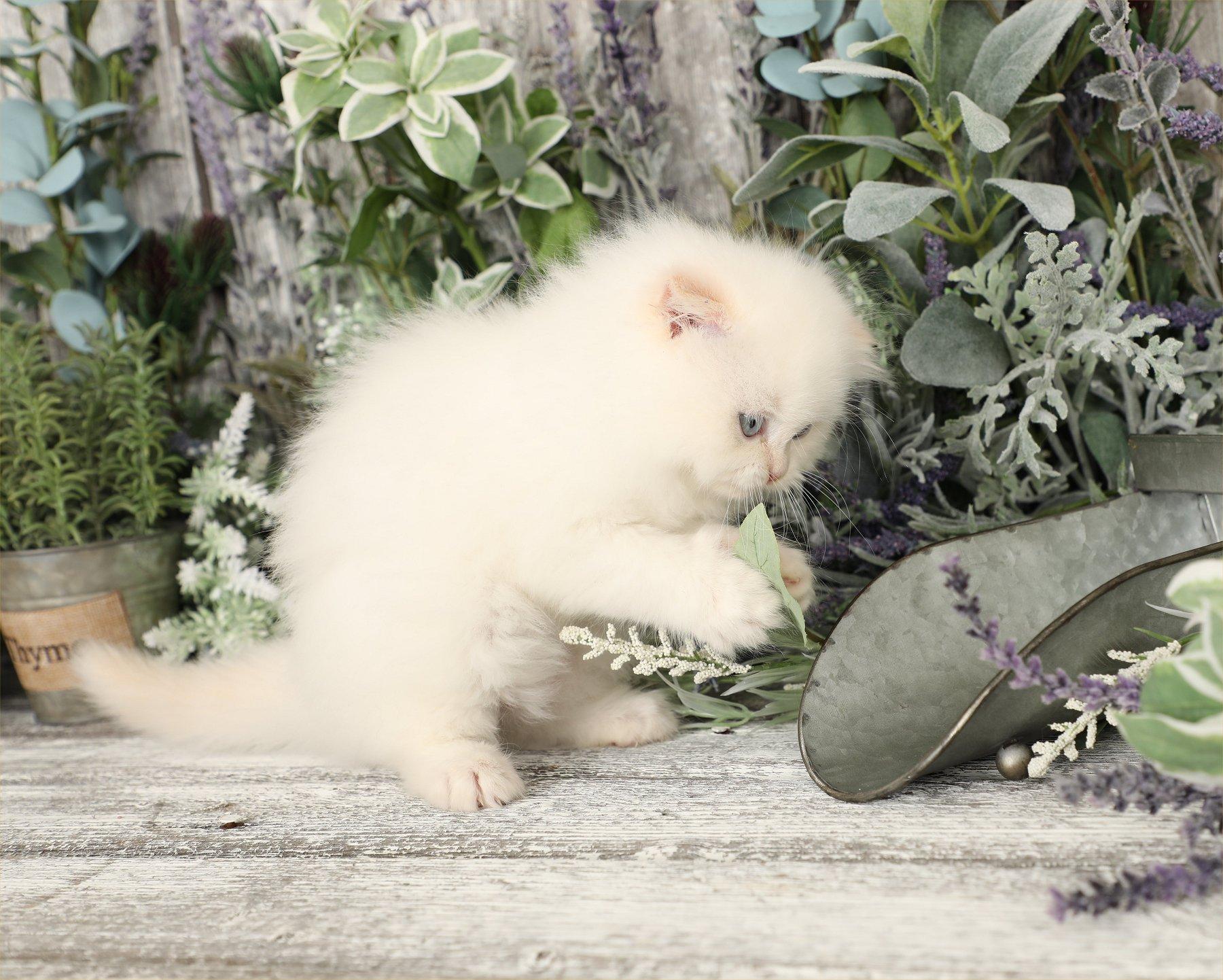 Doll Face Persian Kittens - Mork - Flame Point Himalayan Fold Kitten