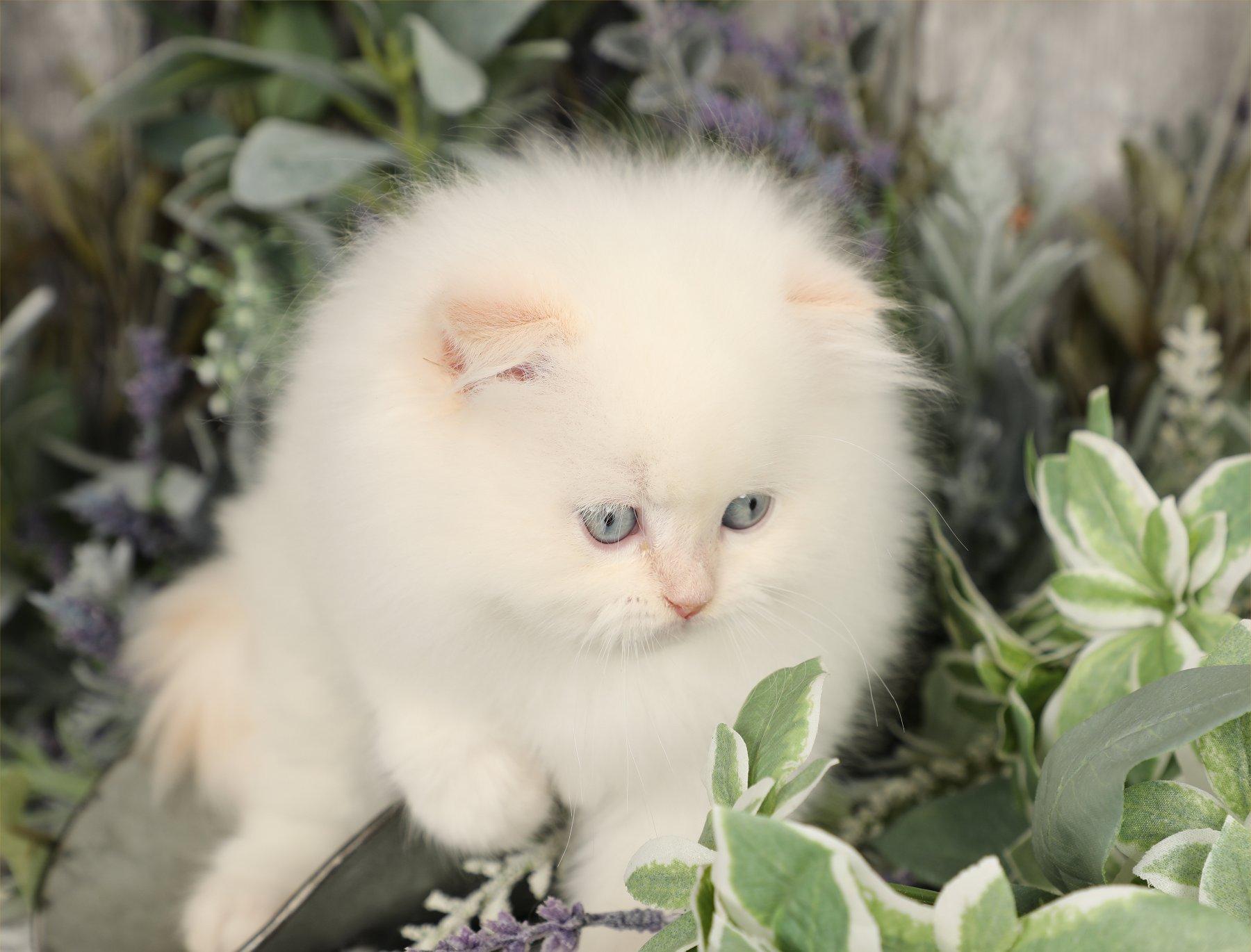 Doll Face Persian Kittens Mork