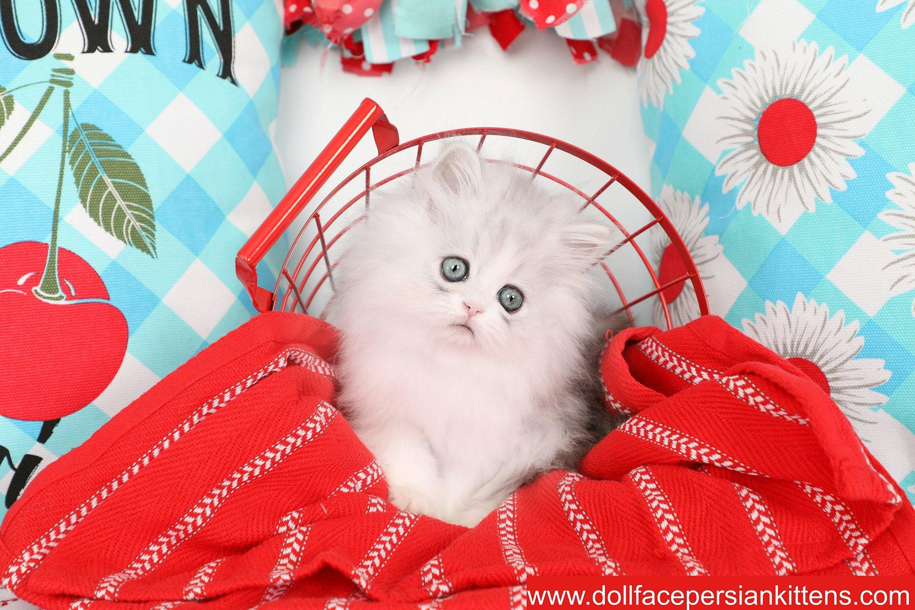 Silver Chinchilla & White Persian Kitten