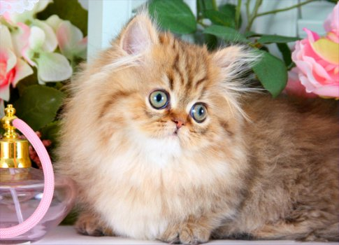 Shaded Golden Rug Hugger Persian Kitten
