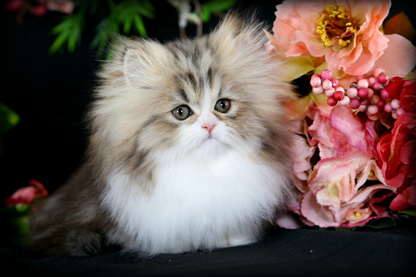 Rug Hugger Kittens For Doll Face Persian Kittenspre Loved 660 292 2222 1126 Shipping Available