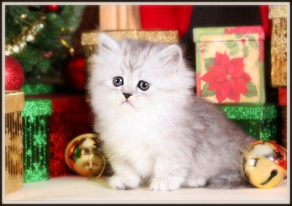 Rug Hugger Persian Kittens