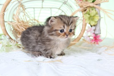 Micro Persian Kitten