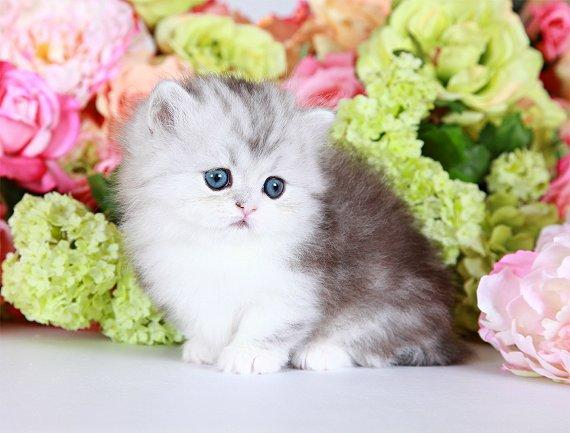 Silver and white Rug Hugger Persian Kitten