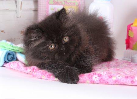 Black Rug Hugger Persian Kitten