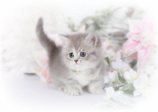 Blue Golden Rug Hugger Persian Kitten
