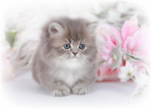 Blue Golden Rug Hugger Kitten