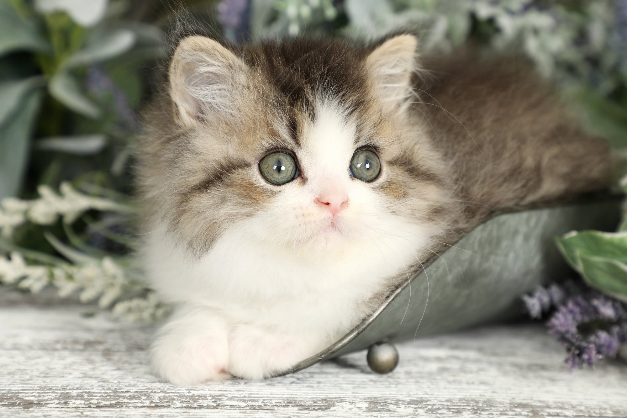 Golden & White Persian Kitten