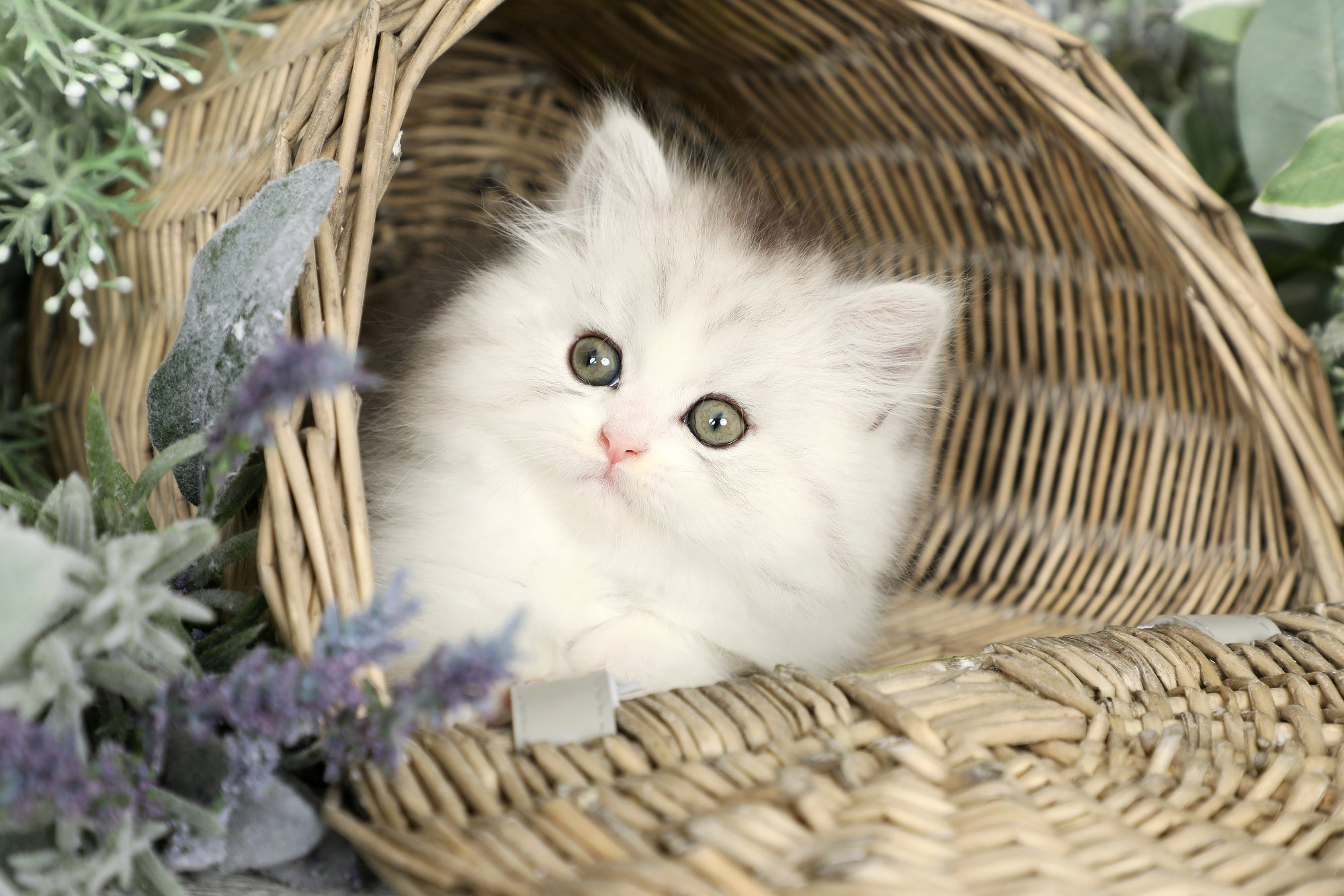 Silver & White Persian Kitten