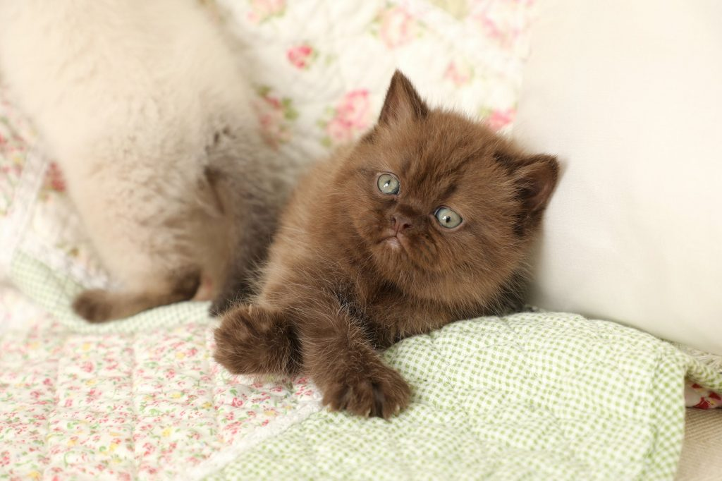 Chocolate Exotic Shorthair Kitten