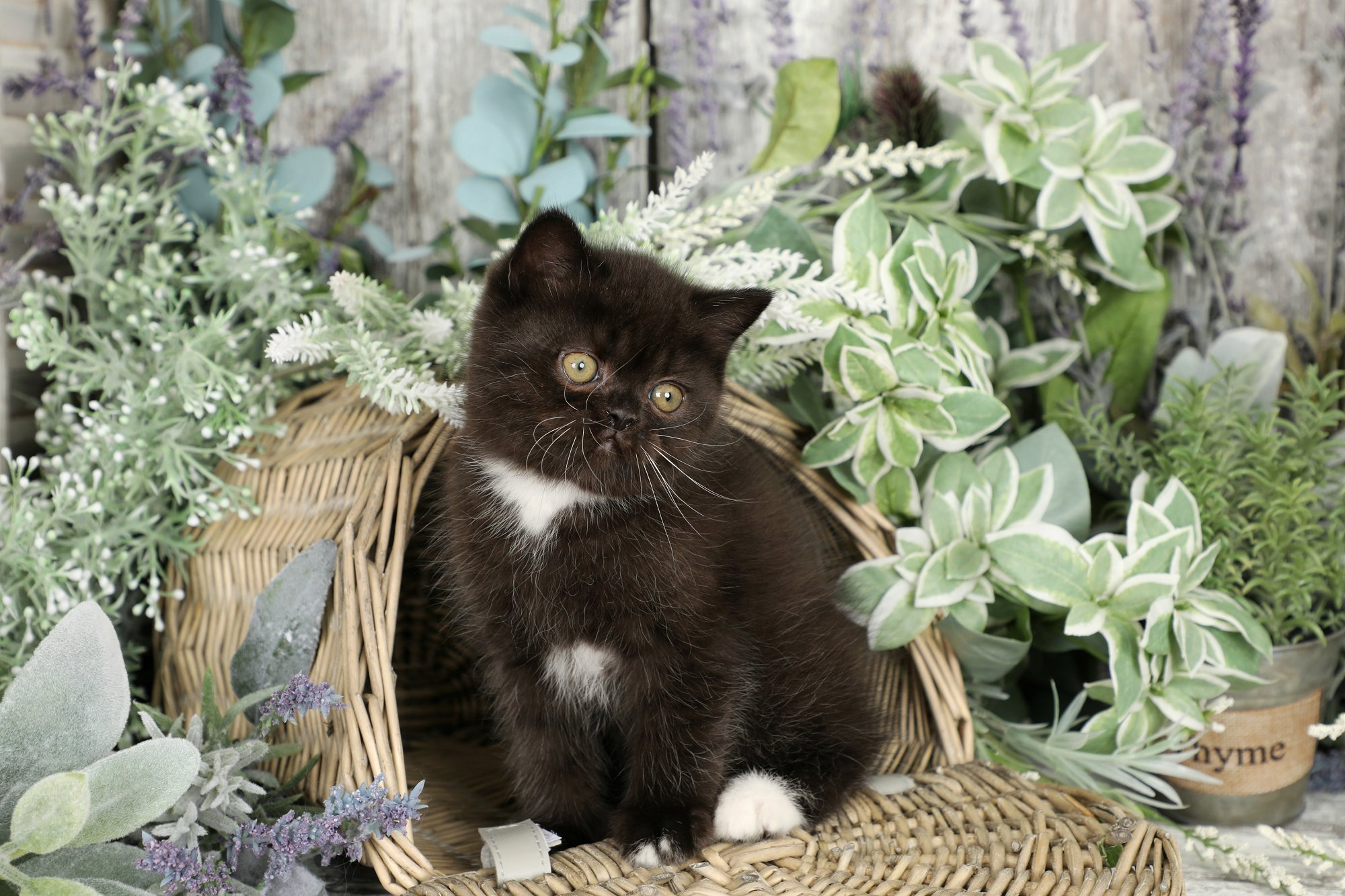 Black & White Exotic Shorthair Kitten