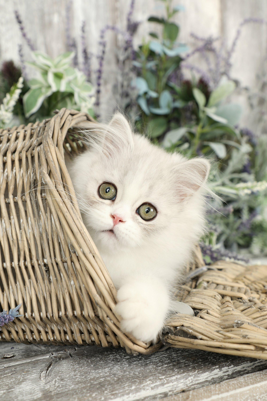 Silver & White Persian Kitten